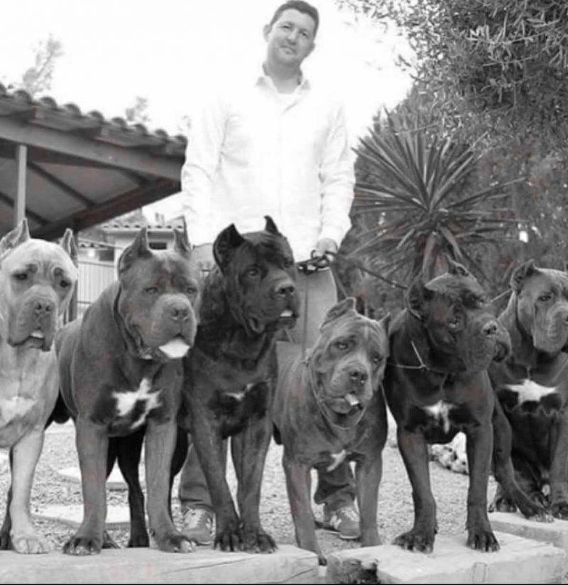 comprar cane corso en Caracas Venezuela y venta de cachorros de Cane corso3