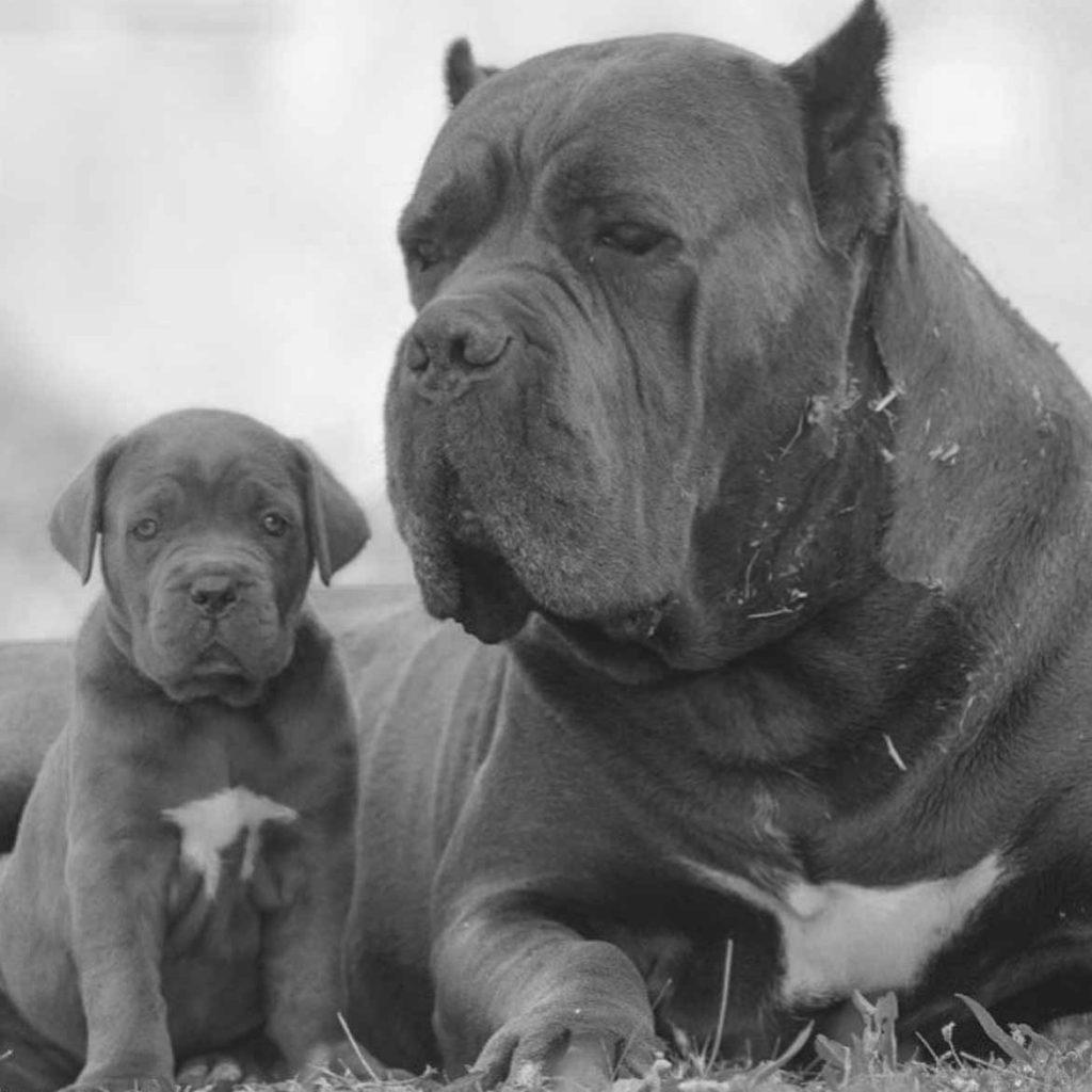 comprar cane corso en La Havana Cuba y Venta de cachorros de cane corso en La Havana Cuba