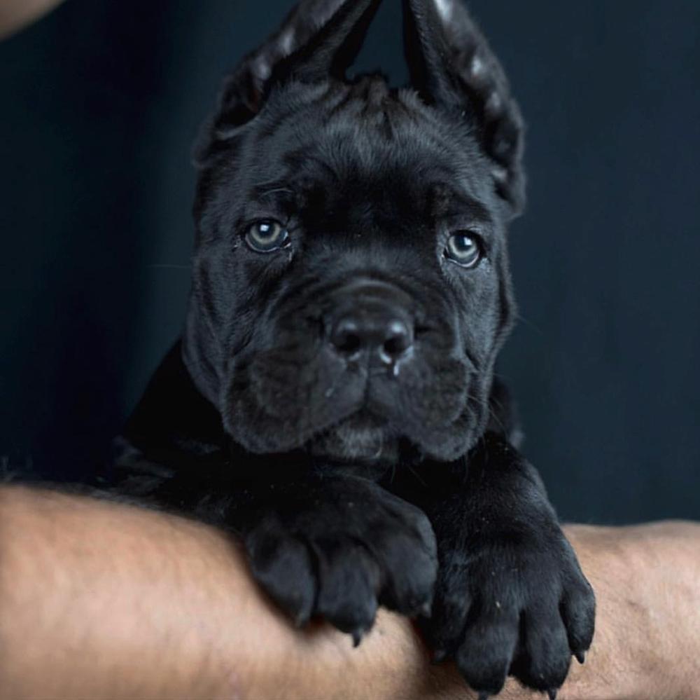 comprar cane corso en La Havana Cuba y Venta de cachorros de cane corso en La Havana Cuba4