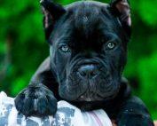 comprar cane corso en Madrid y venta de cachorros de cane corso