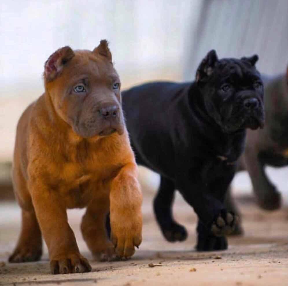 comprar cane corso en Madrid y venta de cachorros de cane corso4