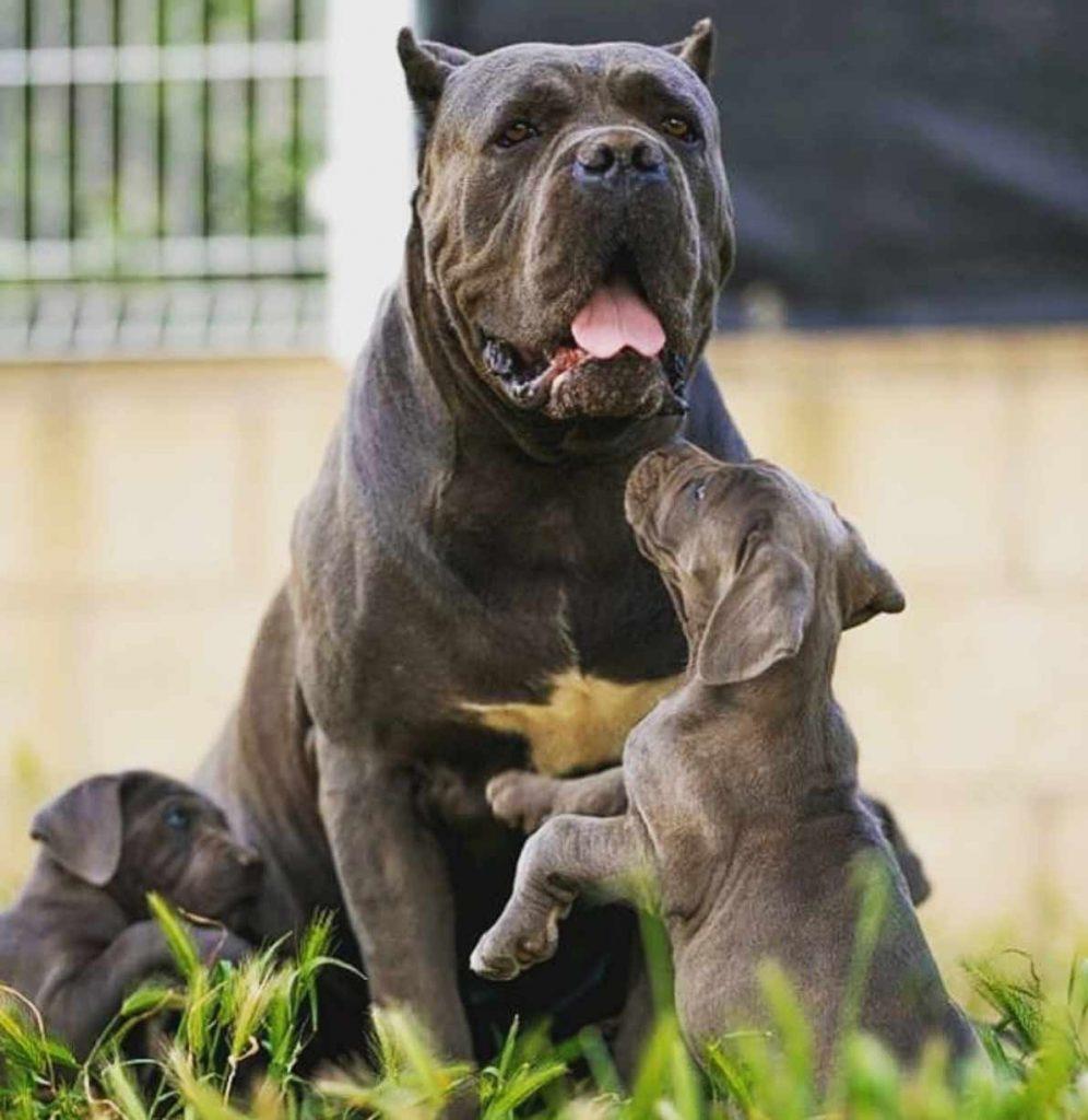 comprar cane corso en Monterrey Mexico y Venta de los mejores cachorros de cane corso en Monterrey3