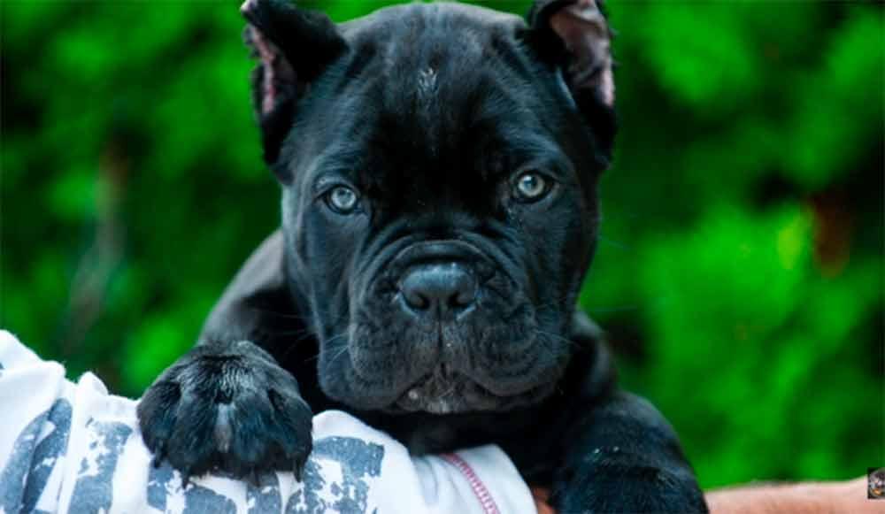 comprar cane corso en buenos aires Argentina y venta de cachorros de cane corso7