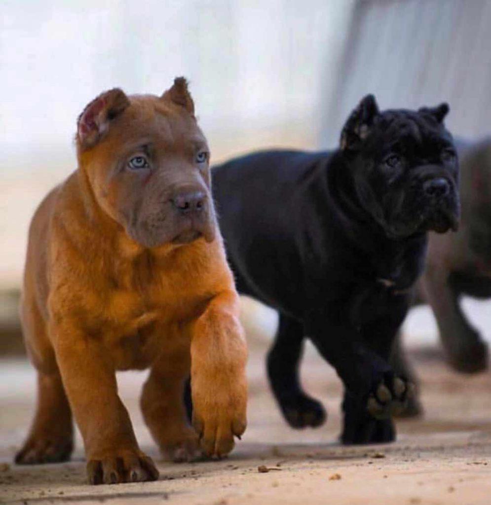 comprar cane corso en buenos aires Argentina y venta de cachorros de cane corso78