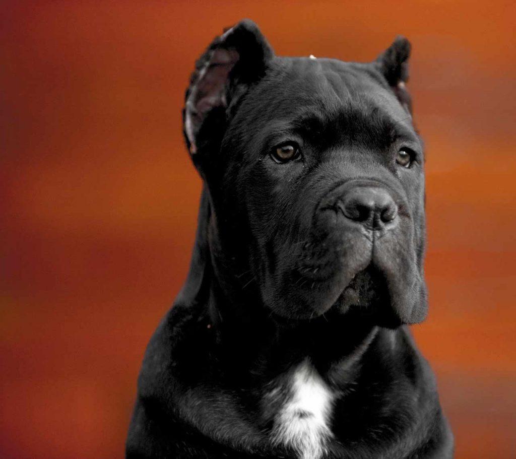 comprar cane corso en ciudad del carmen Mexico y venta de cachorros de cane corso1