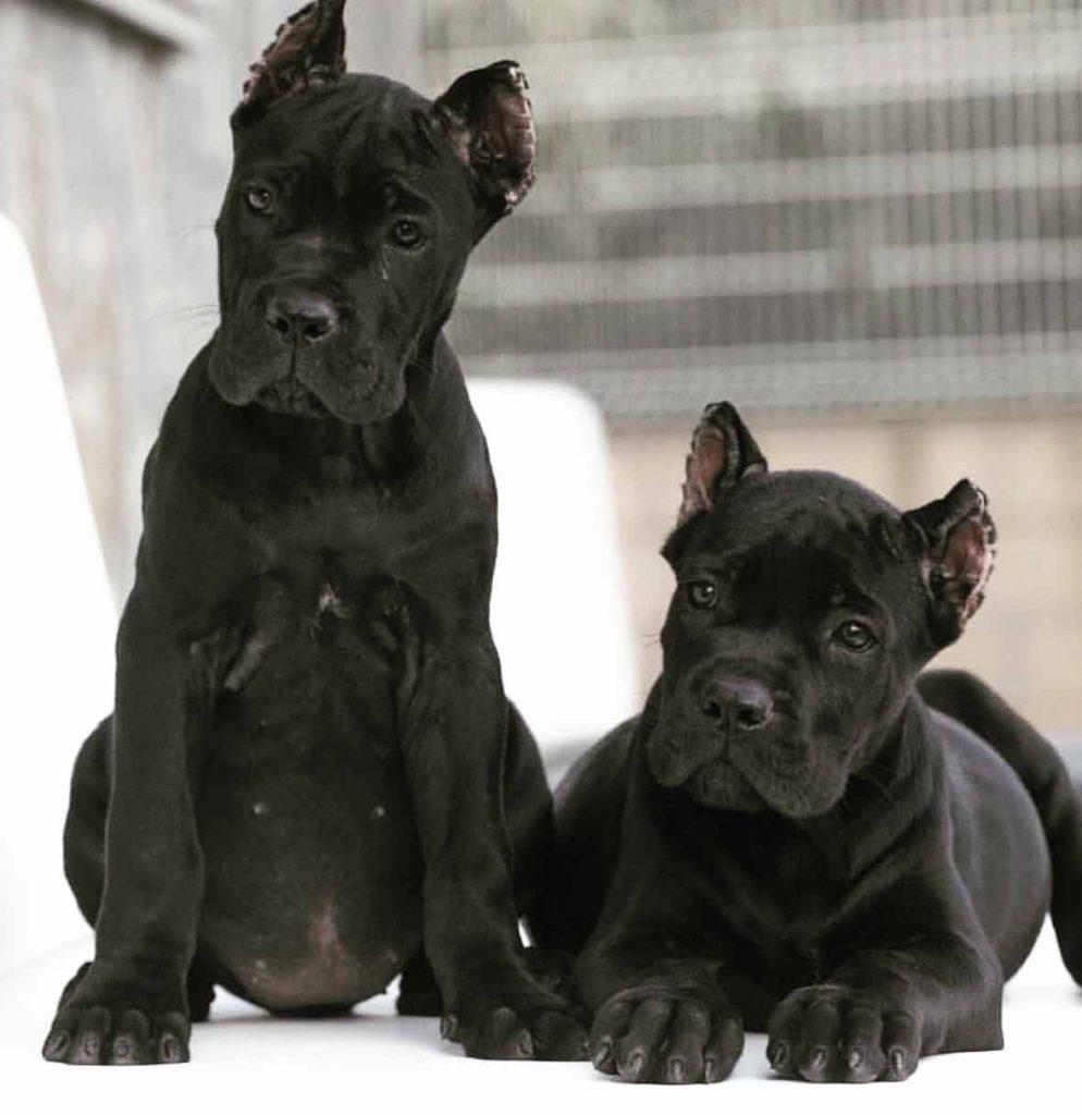 comprar cane corso en ciudad del carmen Mexico y venta de cachorros de cane corso3