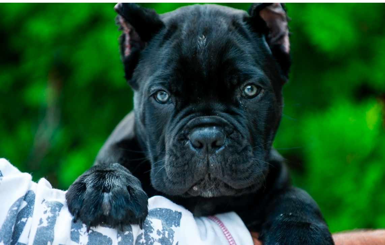 comprar cane corso en santiago de chile y venta de cachorros de cane corso en Chile2