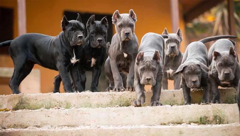 comprar cane corso en santiago de chile y venta de cachorros de cane corso en Chile3