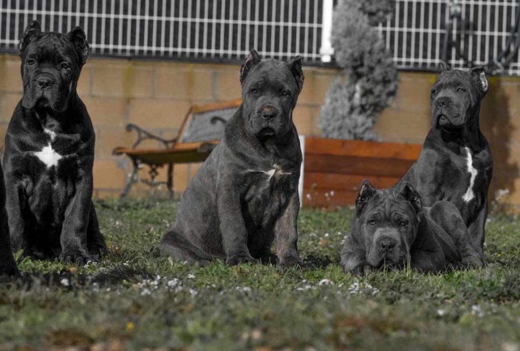 comprar cane corso y cachorros de cane corso en Maracaibo Venezuela2