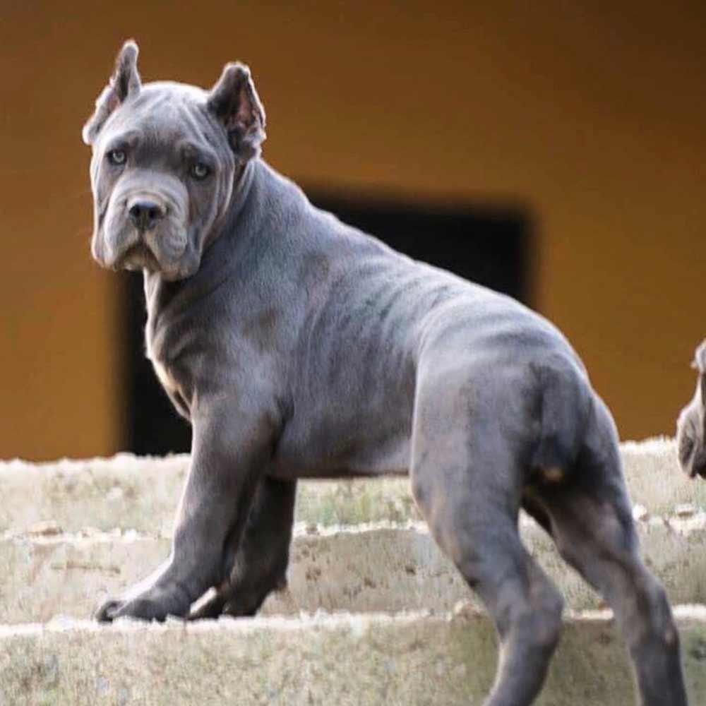 comprar cane corso y cachorros de cane corso en Medellin Colombia4