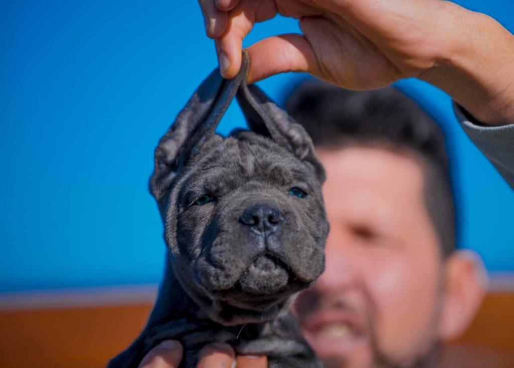 comprar cane corso y venta de cachorros de cane corso en Lima Peru Criadores de cancorso1