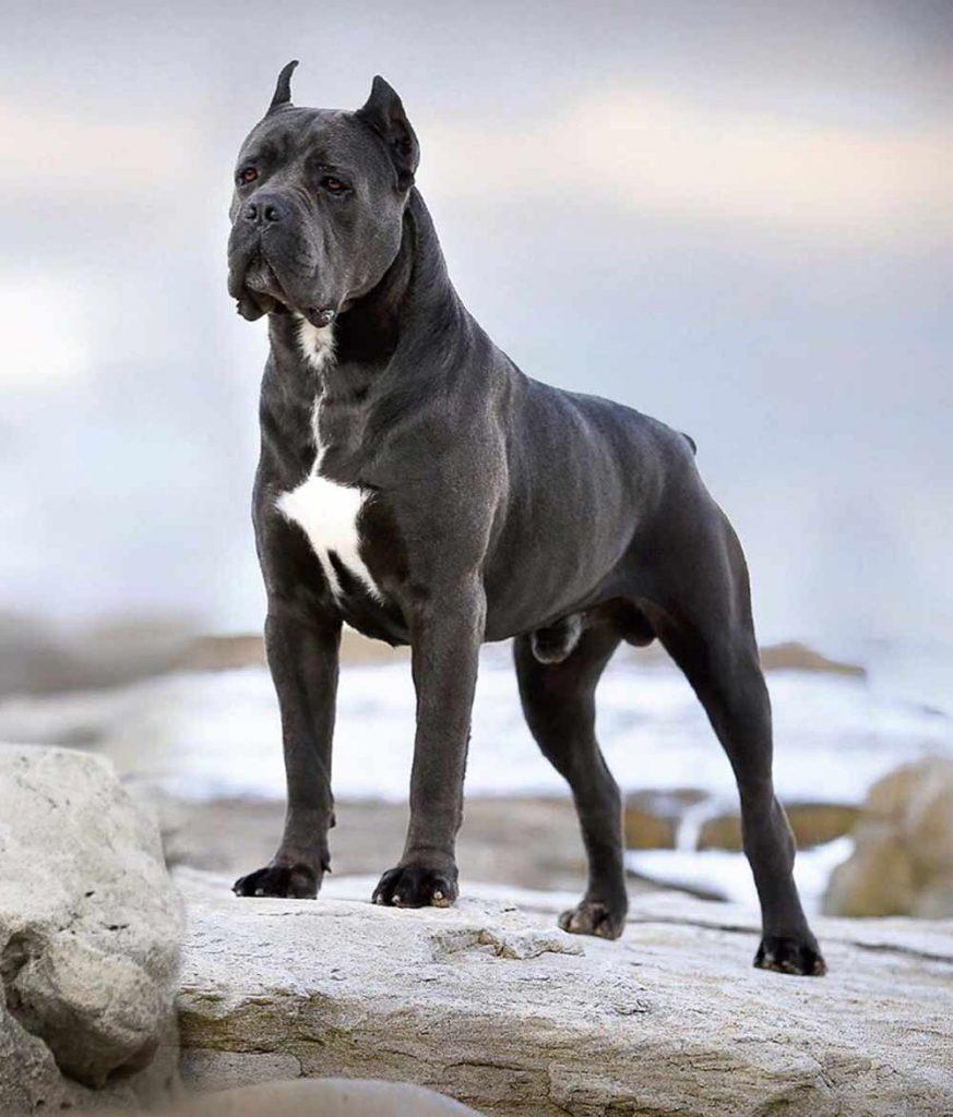 Como comprar un cachorro de cane corso desde el extrangero2