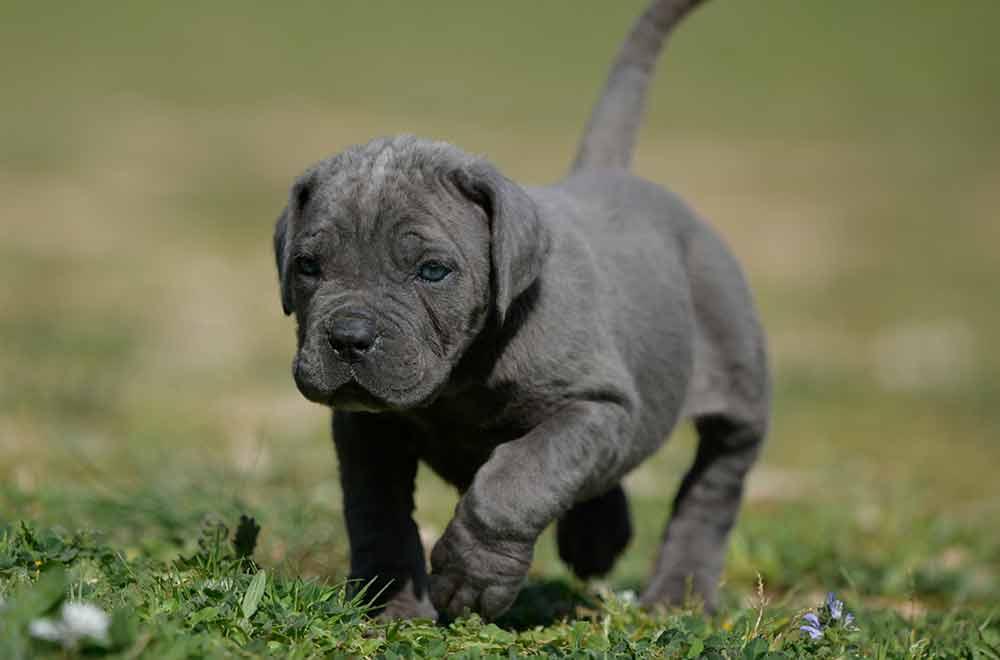 Comprar cachorro de cane corso en baja California y criadores de cane corso La Paz Mexico
