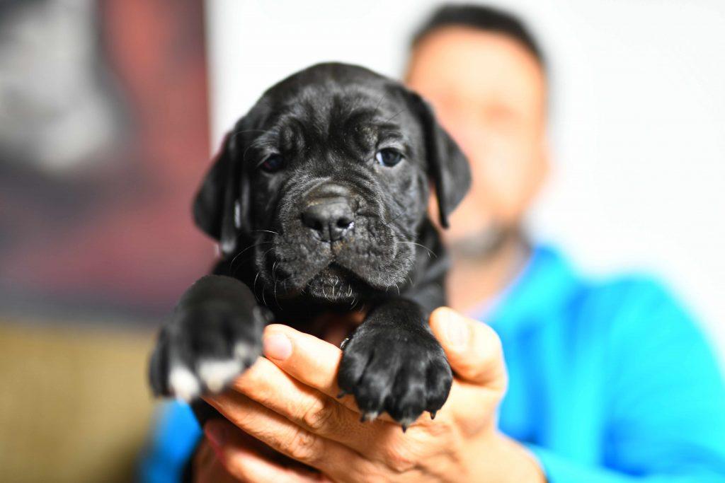 Comprar cachorros cane corso en Bilbao. Nos dedicamos a la venta de perros Cane Corso en el pais vasco