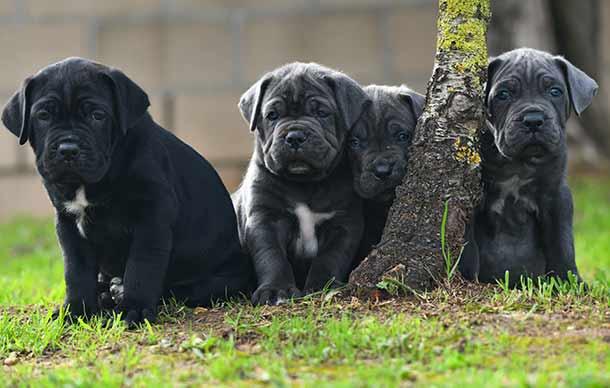 Comprar cachorros cane corso en Bilbao. Nos dedicamos a la venta de perros Cane Corso en el pais vasco2