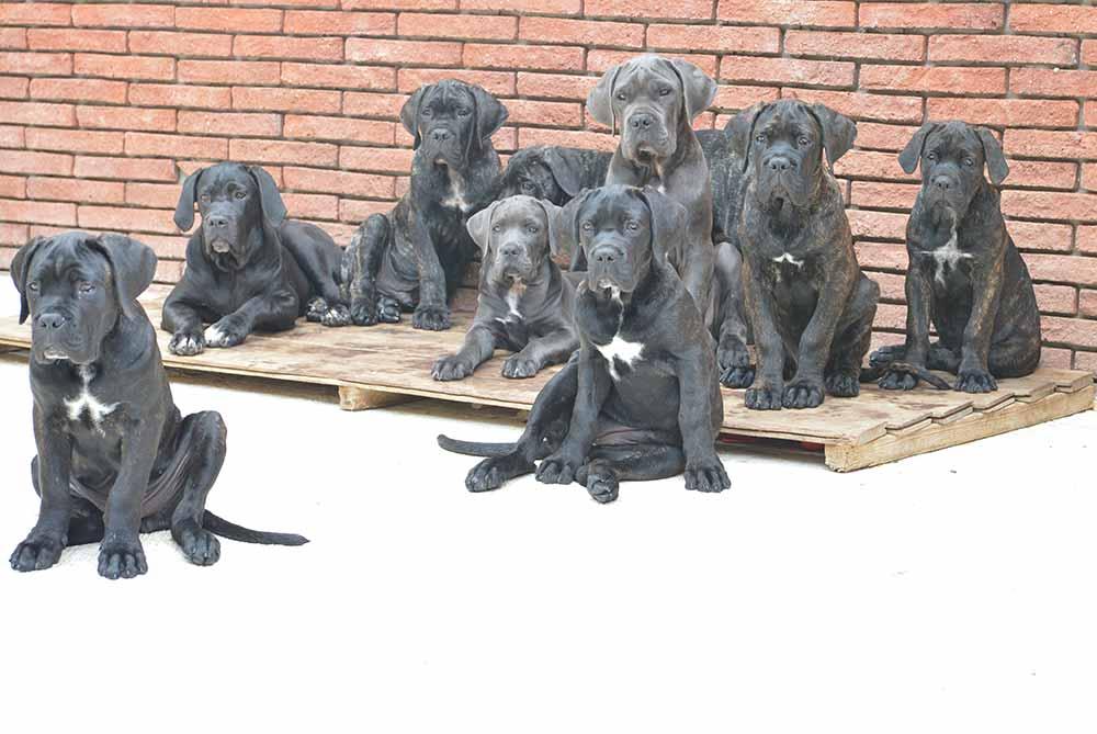 Comprar cachorros cane corso en Madrid. Nos dedicamos a la venta de perros Cane Corso en el Castilla la Mancha
