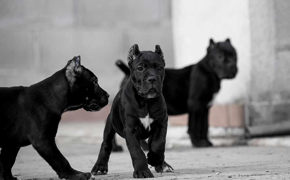 Comprar cachorros cane corso en Valencia. Nos dedicamos a la venta de perros Cane Corso en el Comunidad Valenciana5