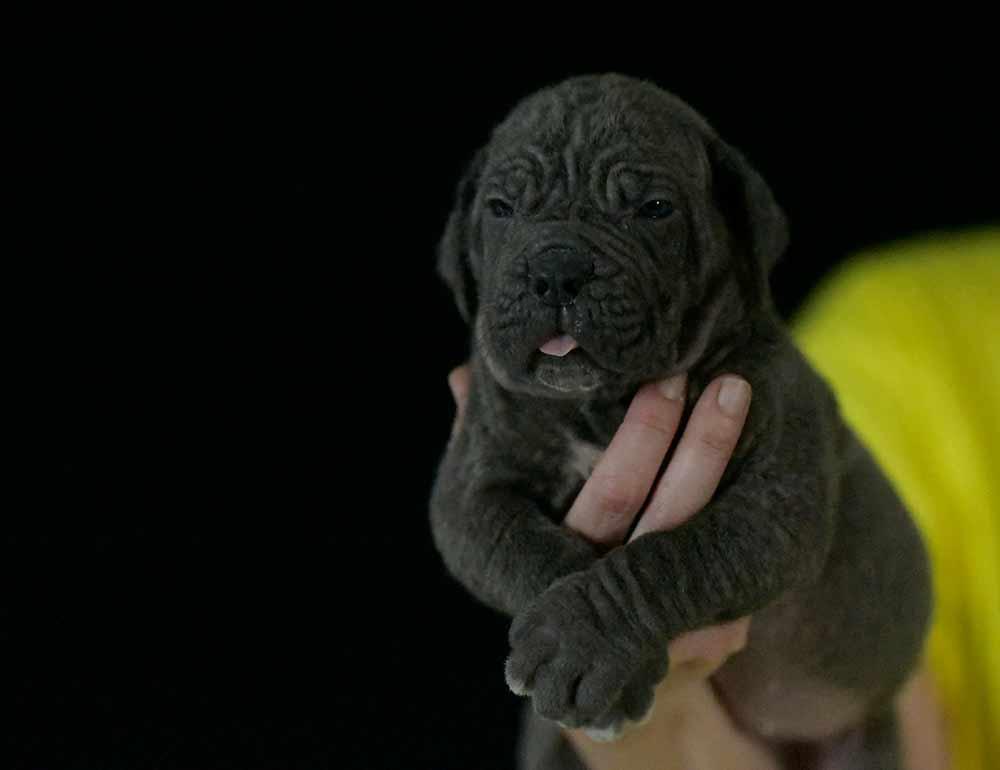 Comprar cachorros cane corso en Valencia. Nos dedicamos a la venta de perros Cane Corso en el comunidad Valenciana2