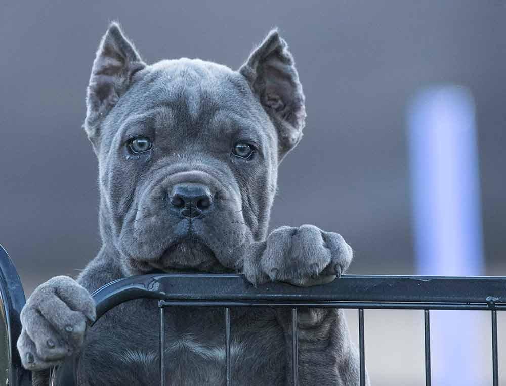 Comprar cachorros cane corso en Valencia. Nos dedicamos a la venta de perros Cane Corso en el comunidad Valenciana3