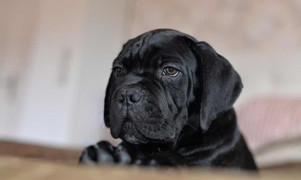 Comprar cachorros cane corso en vizcaya. Nos dedicamos a la venta de perros Cane Corso en el pais vasco2