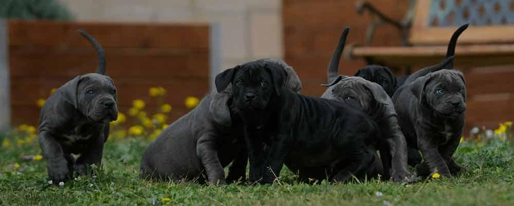 Comprar cachorros de cane corso en Ibiza2
