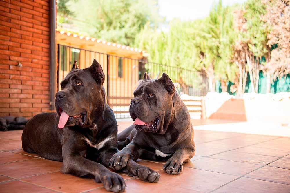 Criadores de Cane corso y Venta de cachorros en Mexico