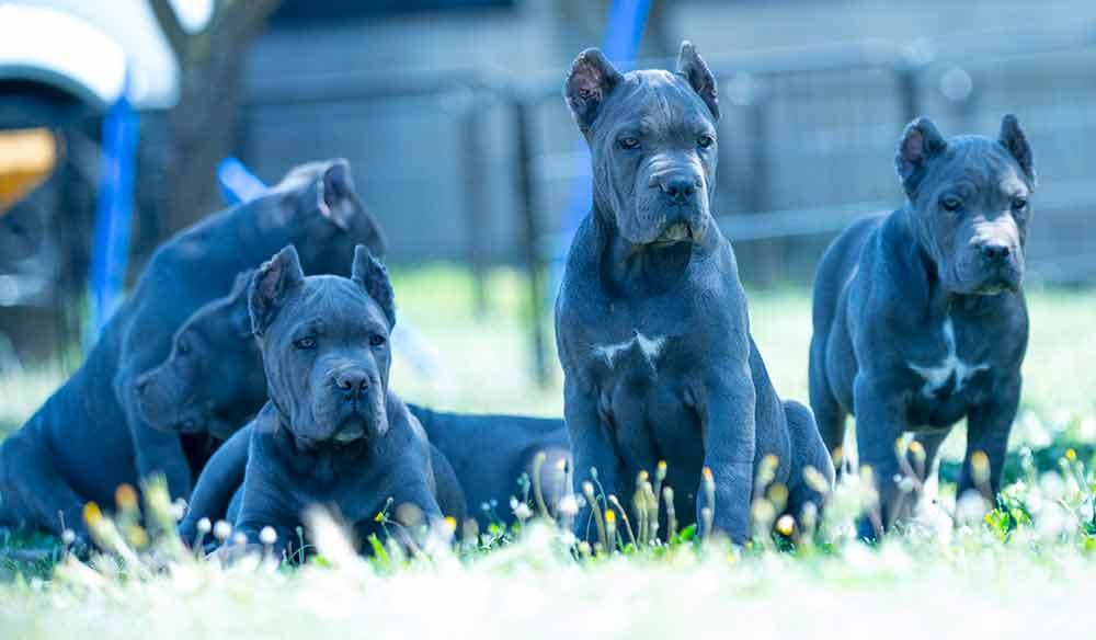 Criadores de cane corso Nos dedicamos a la venta de cachorros de Cane Corso3