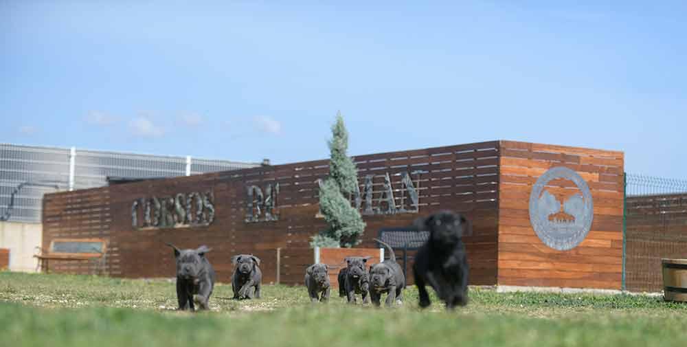 Donde Comprar Perro cane corso y Venta de cachorros de cane corso en Madrid
