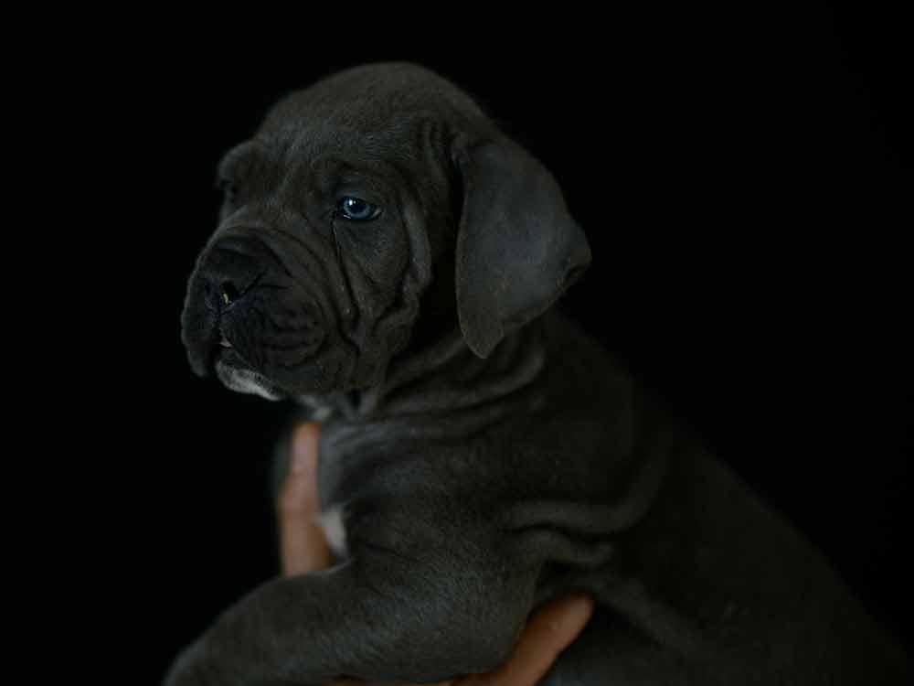Donde Comprar Perro cane corso y Venta de cachorros de cane corso en Madrid3