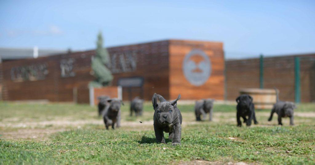 Donde Comprar perro cane corso en Tarragona y Criadores de cane corso en Cataluña2