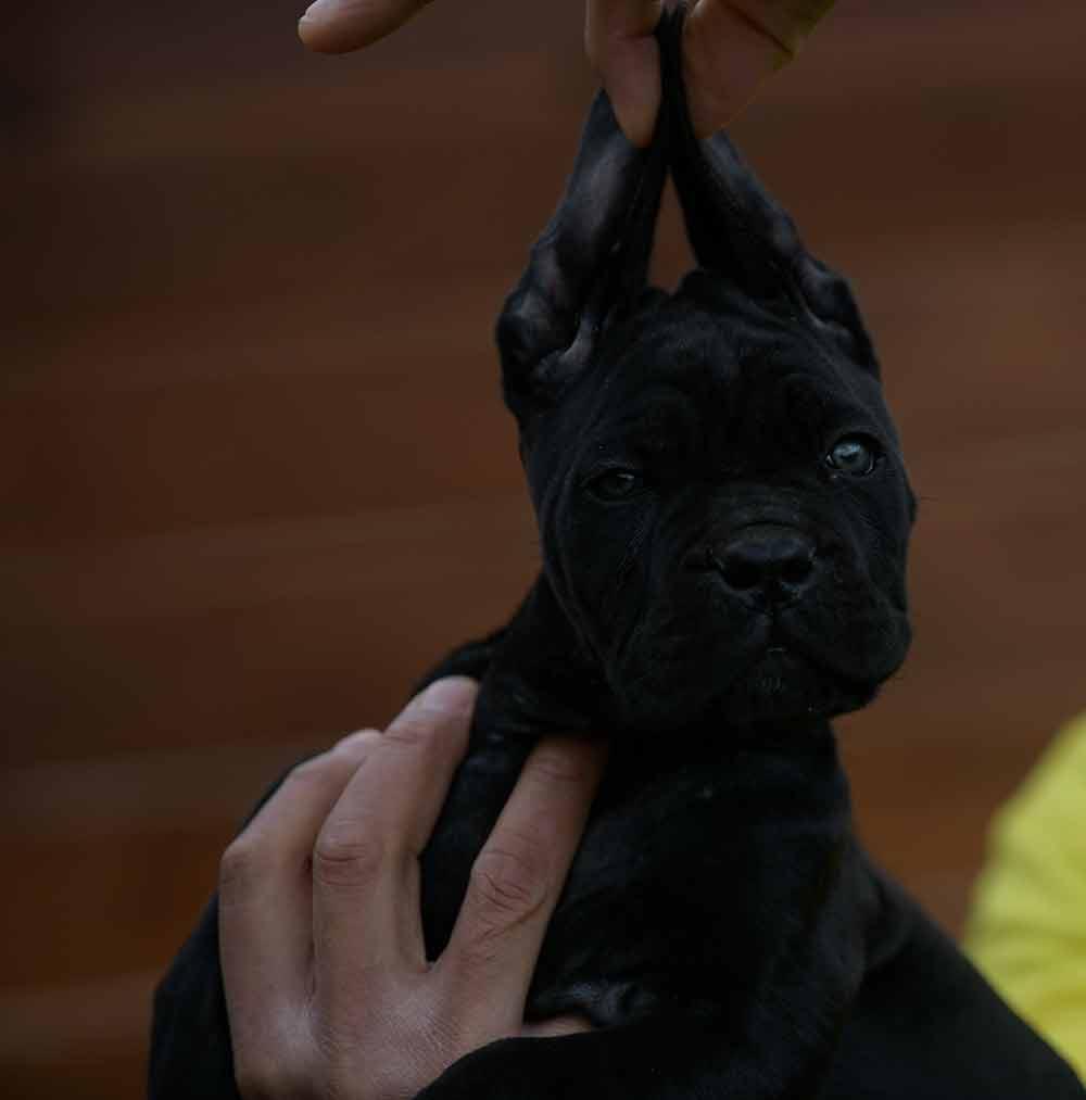 Donde Comprar un perro cane corso en La Coruña y Criadores de cane corso en Galicia.2