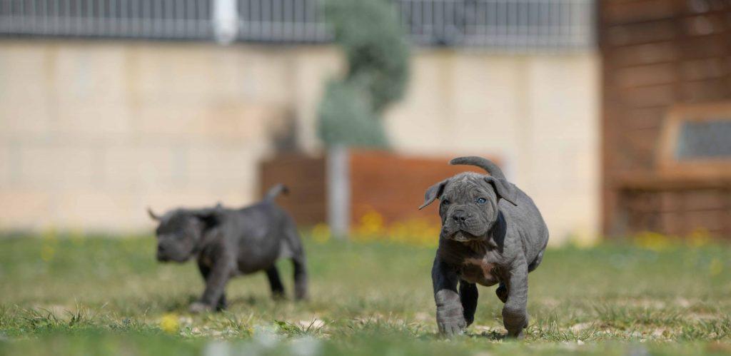 Donde Comprar un perro cane corso en Zamora y Criadores de cane corso en Castilla Leon2