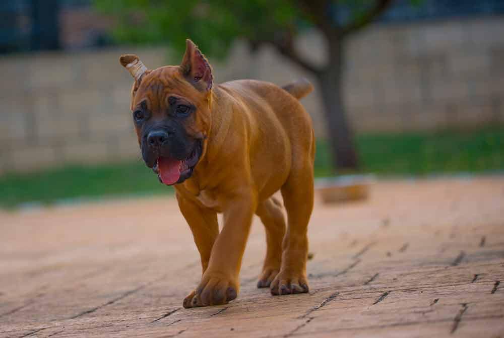 Donde compra cane corso y venta de cachorros de cane corso en Asuncion Paraguay