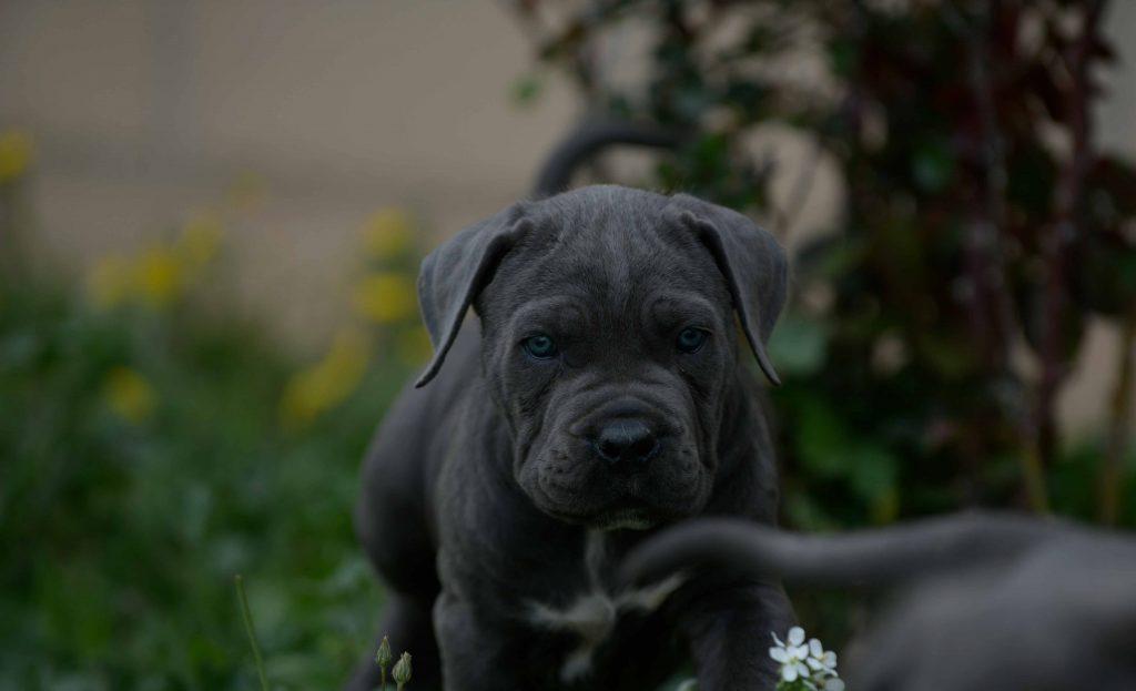 Donde comprar Cane corso en Lerida y Criadores de cane corso en Cataluña2