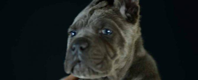 Donde comprar cachorros de cane corso en Malaga