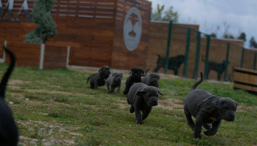 Donde comprar cachorros de cane corso en Malaga1