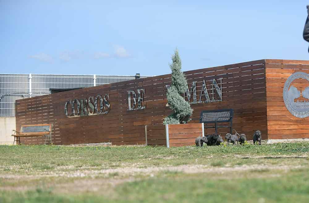 Donde comprar cachorros de cane corso en Pontevedra y criadores de cane corso en Galicia1