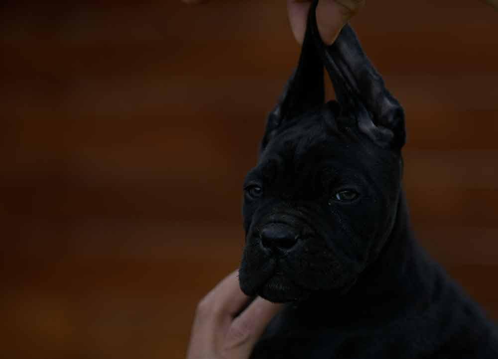 Donde comprar cachorros de cane corso en Pontevedra y criadores de cane corso en Galicia2
