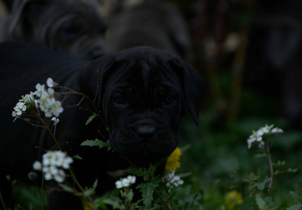 Donde comprar cachorros de cane corso en Sevilla y Criadores de cane corso en Andalucia