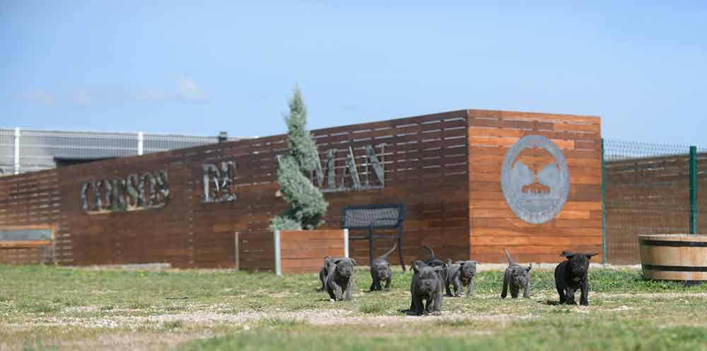 Donde comprar cachorros de cane corso en Soria y criador de cane corso en Castilla y León