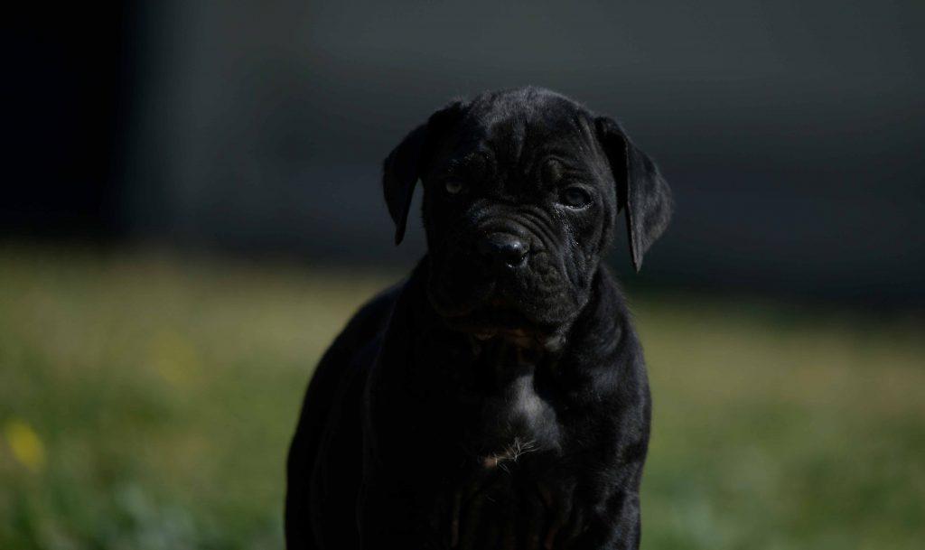 Donde comprar cane corso en Alicante y venta de cachorros de cane corso en la Comunidad Valenciana1
