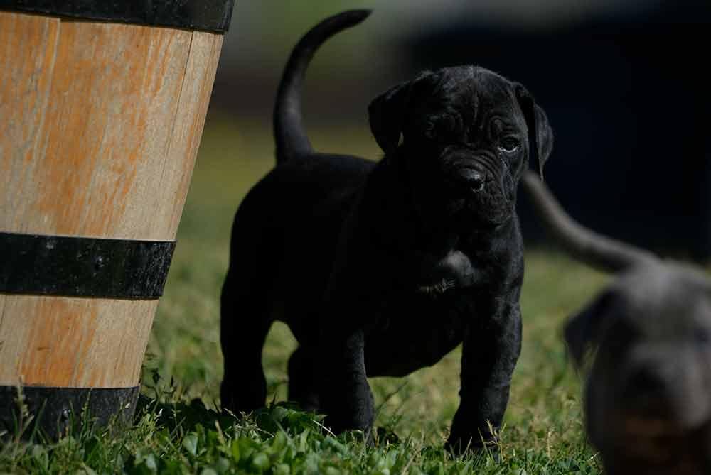 Donde comprar cane corso en Alicante y venta de cachorros de cane corso en la Comunidad Valenciana2