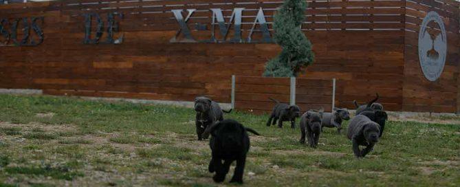 Donde comprar cane corso en Valladolid y criadores de cane corso en Castilla leon1