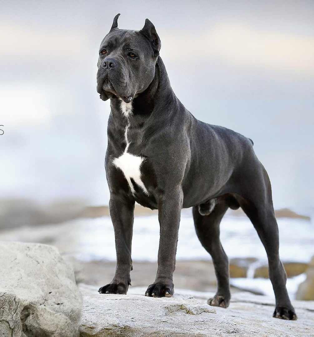 Donde comprar cane corso y Venta de cachorros de cane corso en San Juan Puerto Rico2