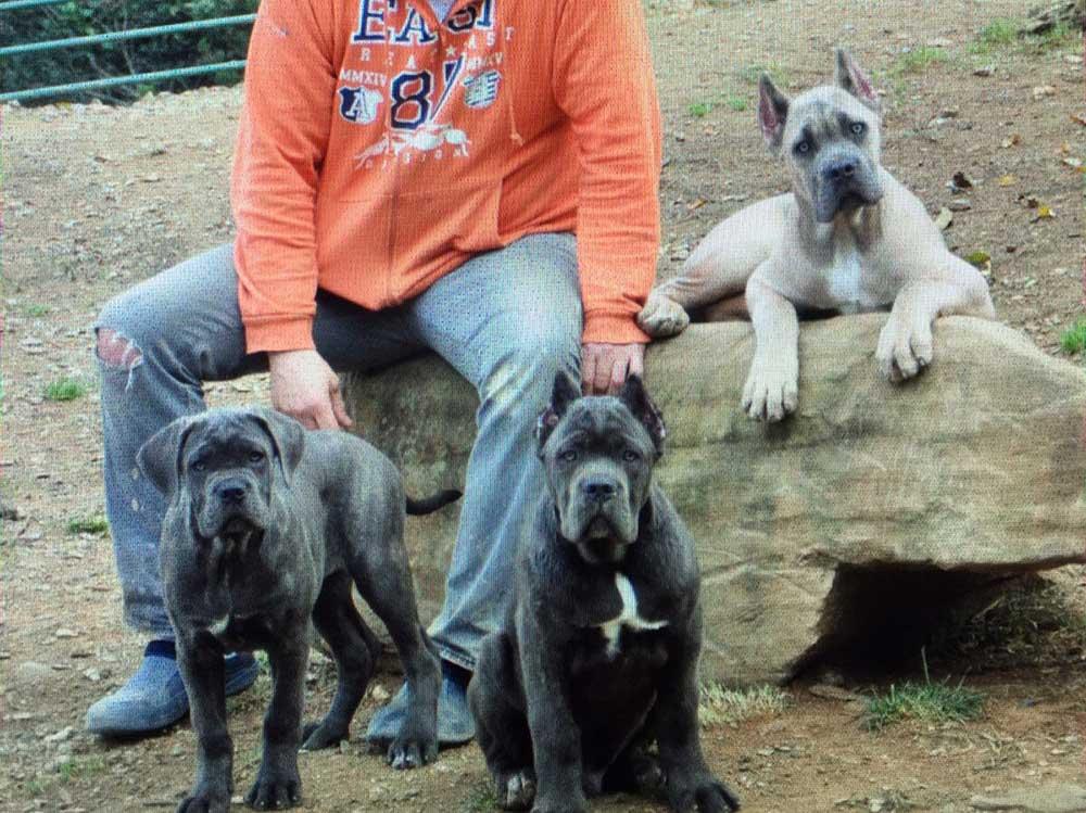 Donde comprar cane corso y Venta de cachorros de cane corso italiano en Jalisco Mexico