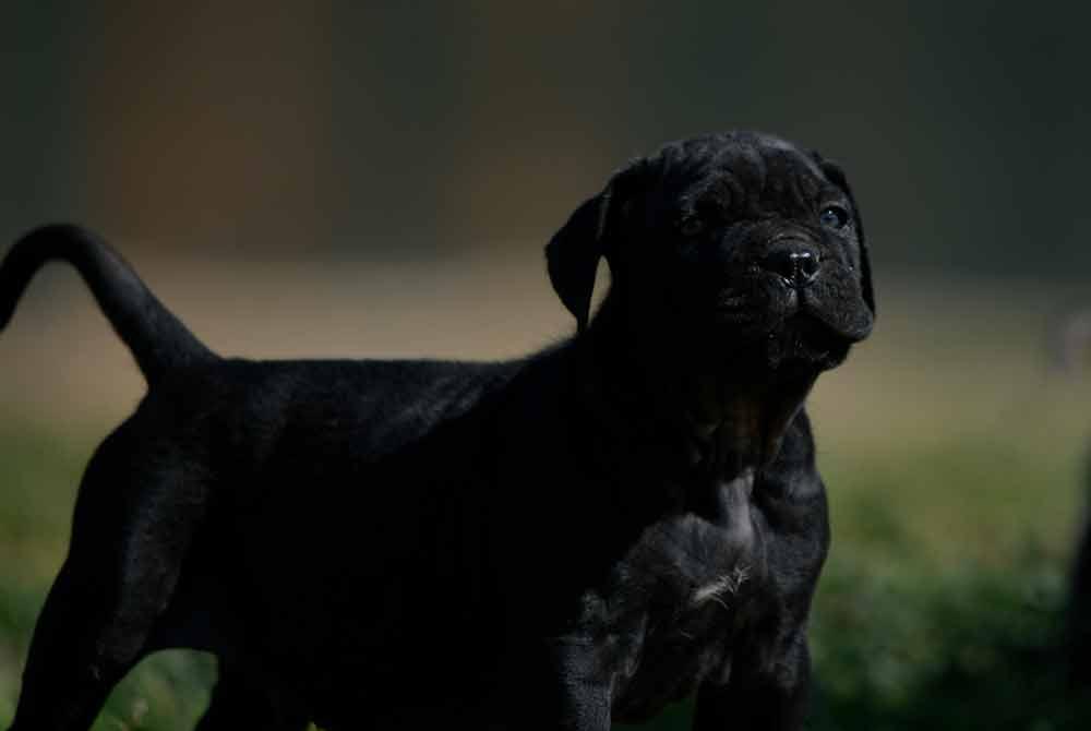 Donde comprar perro cane corso en Avila y Criadores de cane corso en Castilla leon1