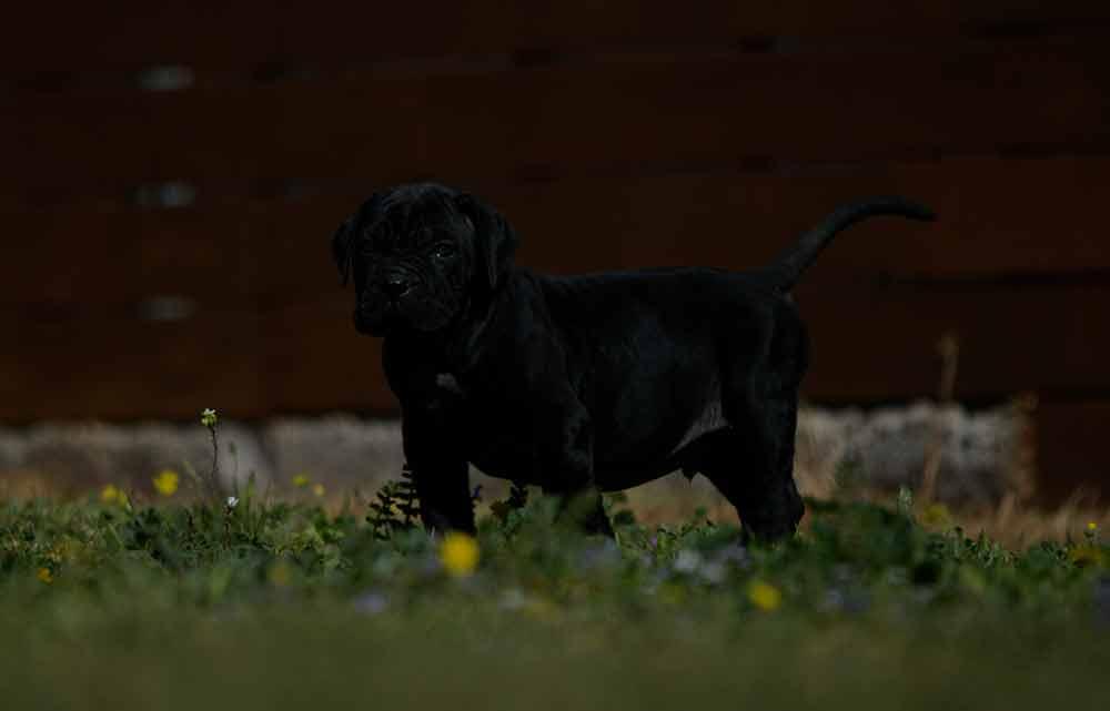 Donde comprar perro cane corso en Caceres Y criadores de cane corso en Extremadura