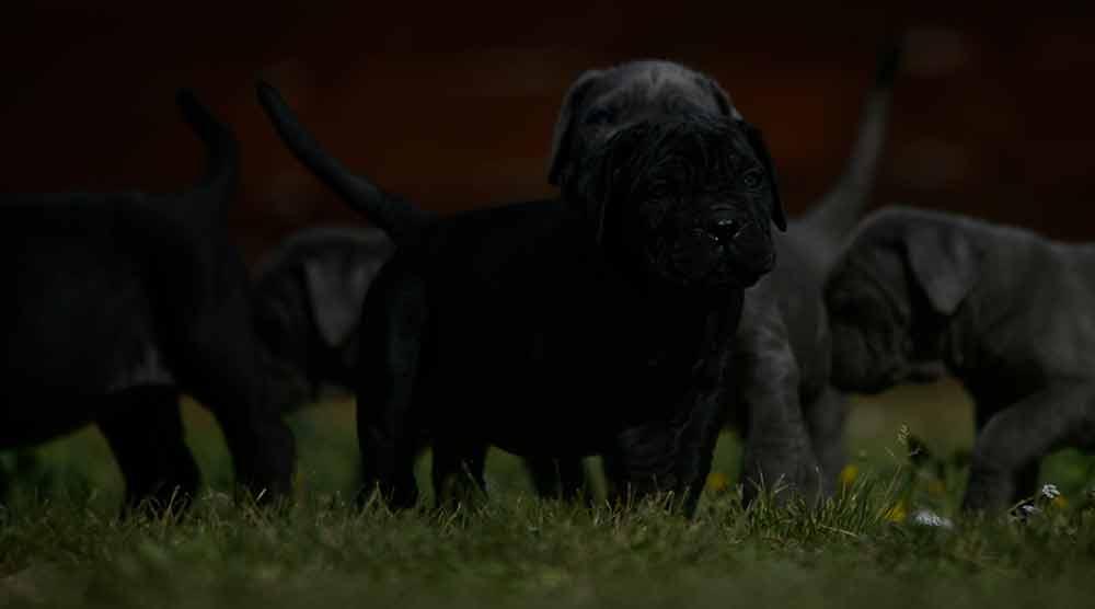Donde comprar perro cane corso en Palma de Mallorca y criadores de cane corso en Islas Baleares1