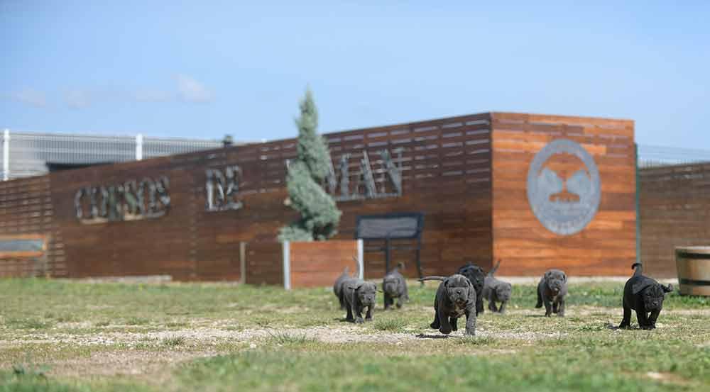 Donde comprar perro cane corso italiano en Marbella y criadores de cane corso en Cadiz1