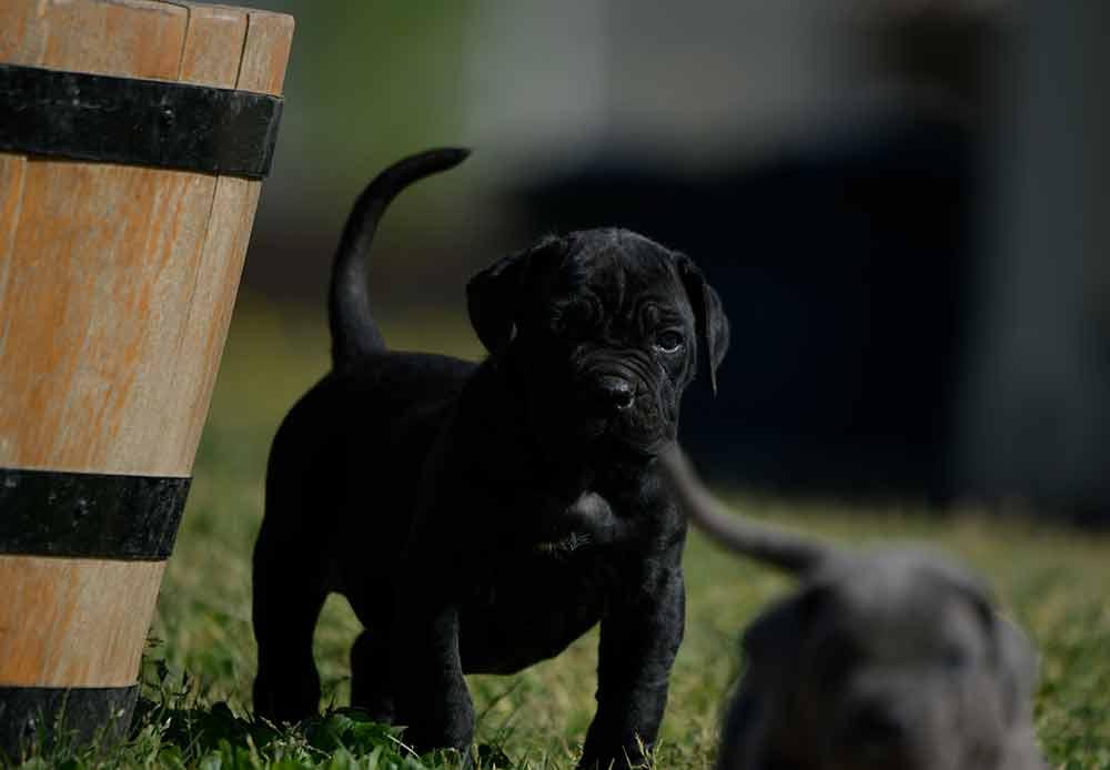 Donde comprar perro cane corso y Venta de cachorros de cane corso en Bilbao1